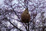 Les frelons asiatiques s'installent à La Roche-Posay